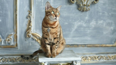 Bengal Cat Portrait - Pedigree Cat Live Action