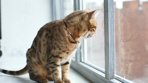 Bengal Cat Sits On The Windowsill Live Action
