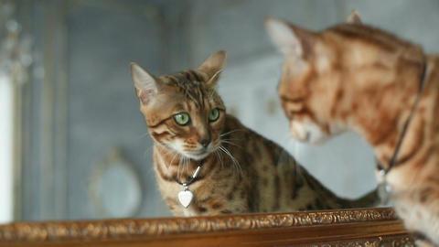 Bengal Cat Near Mirror Footage