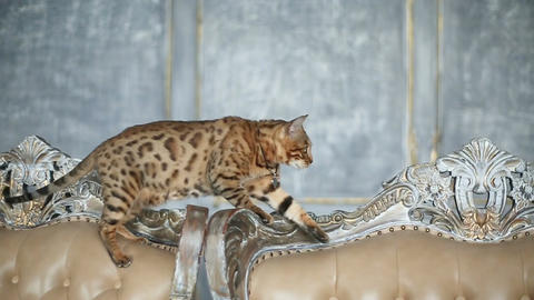 Beautiful Stylish Bengal Cat Live Action