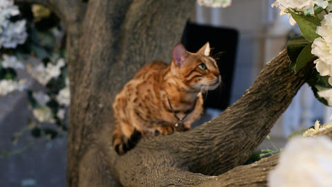 Domestic Bengal Cat On Branch Footage