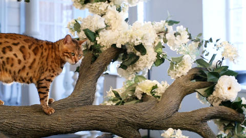 Bengal Cat Sits On The Tree Footage