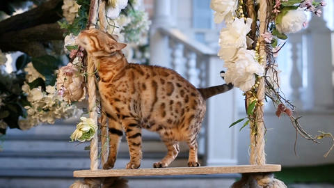 Bengal Cat On A Garden Swing Footage