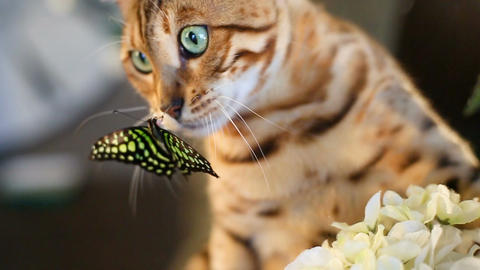 Butterfly On The Muzzle Of A Cat Footage