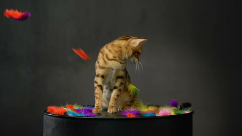 Adorable Gold Bengal Cat Footage