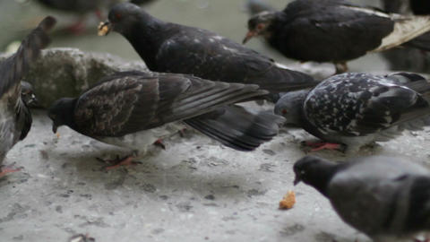 Pigeons Eat Bread 2 Footage