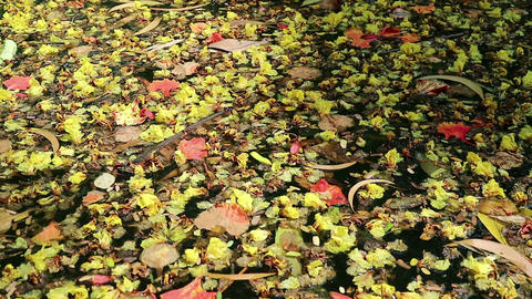Beautiful fallen flowers and leaves floating on green water Footage