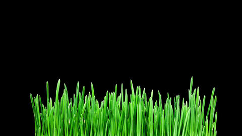 Barley grass sprouting and growing timelapse Footage