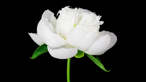 Timelapse of white peony flower blooming on black background Footage