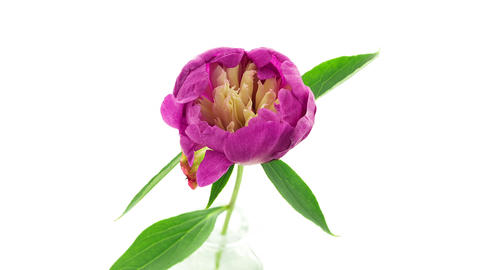 Pink white peony flower blooming top view timelapse Footage