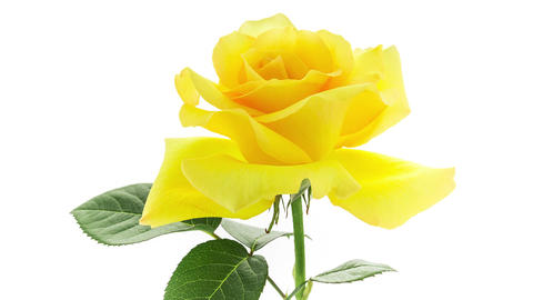 Yellow Rose Blooming Timelapse Archivo