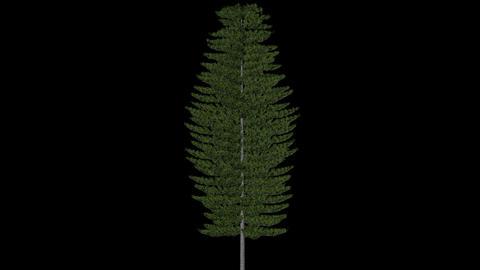 Norfolk Pine 3 in 1 Footage