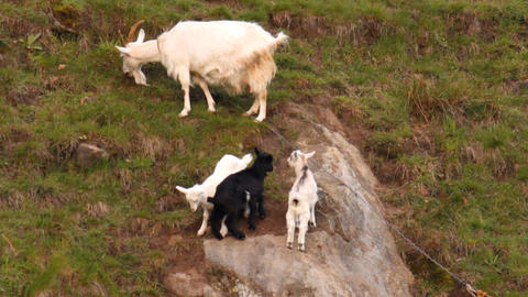 Goat family Footage