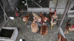 Chickens and a rooster or cock inside the hen house, chicken coop or poultry yar Footage