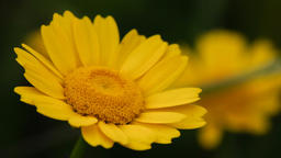 Yellow daisies gently moving with the wind during spring. Macro with a shallow o Footage