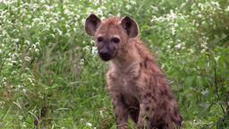 Spotted hyaena (hyena) cub Footage