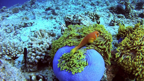 Diving in Maldives - Clownfish