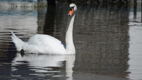 Swan Opens his Mouth and Swims away Footage