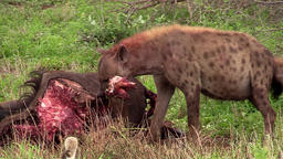 Spotted Hyaena (hyena) show the strength of their jaws ビデオ