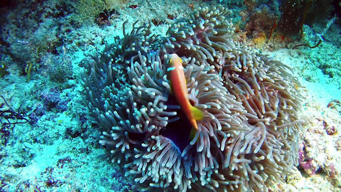 Diving in Maldives - Clownfish Live Action
