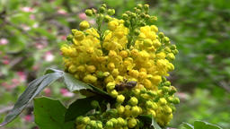 Mahonia aquifolium (oregon grape) and bee in the garden - macro Footage