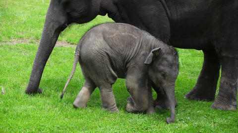 Young and old asian elephant Footage