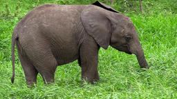African elephant baby grazing Archivo
