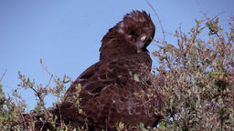 Brown snake eagle ビデオ