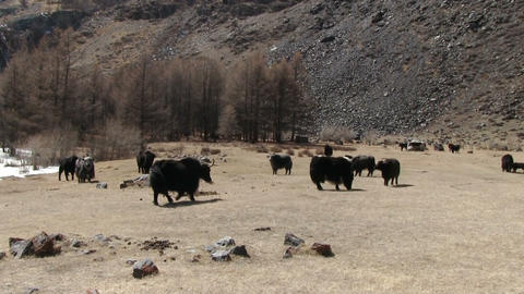 Yaks Graze On The Mountain Pasture Footage