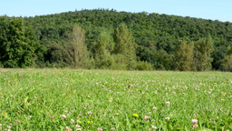 meadow (flowers with grass) - forest with trees in the background - blue sky - s Footage