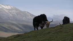 A Yak is grazing,Tagong,China, Peoples Rep Footage