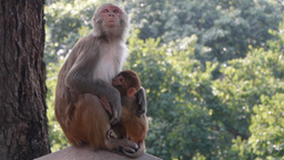 Mother monkey and baby in Swayambhunath,Kathmandu,Nepal Footage