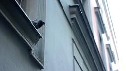 pigeon on the roof edge - windows Footage