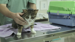 MVI 0696 veterinarian examines home cat Footage