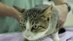 MVI 0690 Extreme Close Up Of Tabby Cat During Check Up stock footage