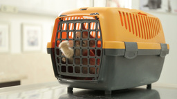 MVI 0528 Kitten Meow in Portable cat carrier on vet treatment table Footage