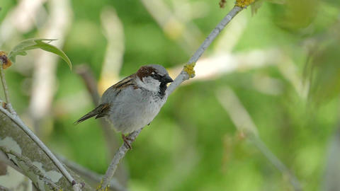 House Sparrow Sitting On A Branch,Chirping And Fly Away, Male Live Action