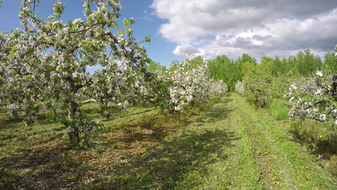 Flowering industrial apple tree orchard, time lapse 4K Footage
