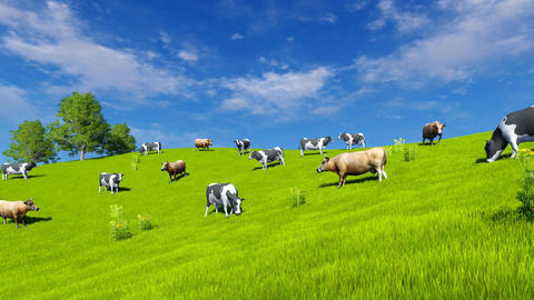Dairy cows grazing on green pasture Footage