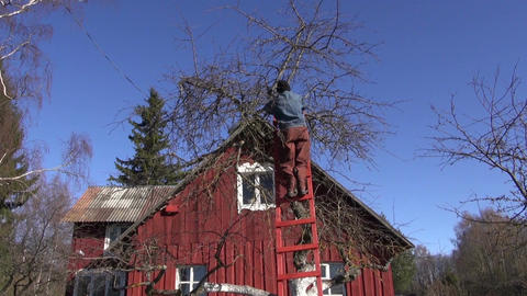 Man pruning apple tree by the red wooden house Footage