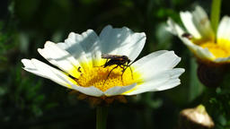Bug on yellow-white flower Footage