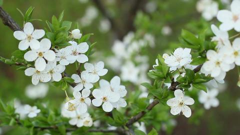 Spring Flowering Cherry 2 Footage