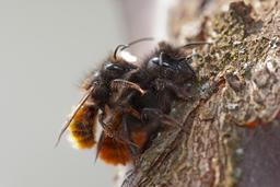 Mason bees (Osmia cornuta) ♂♀ フォト