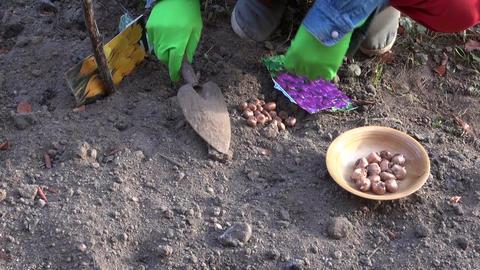 Gardener wearing rubber gloves planting crocus plants Live Action
