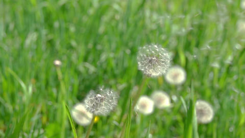 Dandelion Seeds Blown in the Wind Footage
