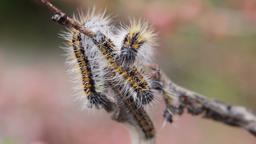 Caterpillar wrapped branchcaterpillar Aporia Crataegi on almond branches Footage