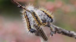 Caterpillar wrapped branchcaterpillar Aporia Crataegi on almond branches