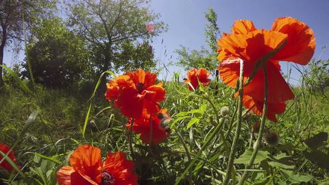 Orange poppies flowering, 4K Footage