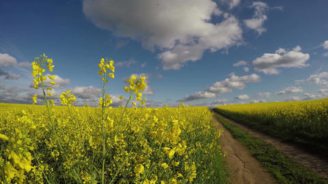 Fields of flowering rapeseed by the country road, 4K Footage