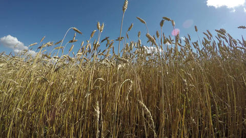 Field of wheat on sunny summer day with blue cloudy sky, 4K Footage